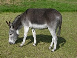 Ass, Donkey (Equus asinus)